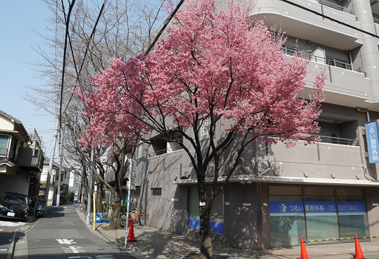 サンクリバージュ野方と桜